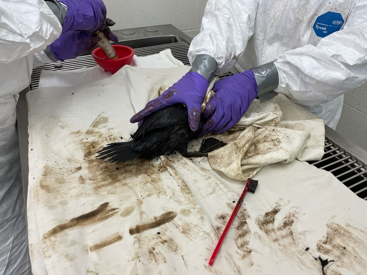 Ruddy Duck – before cleaning photo – Los Angeles Oiled Bird Care and Education Center in San Pedro
