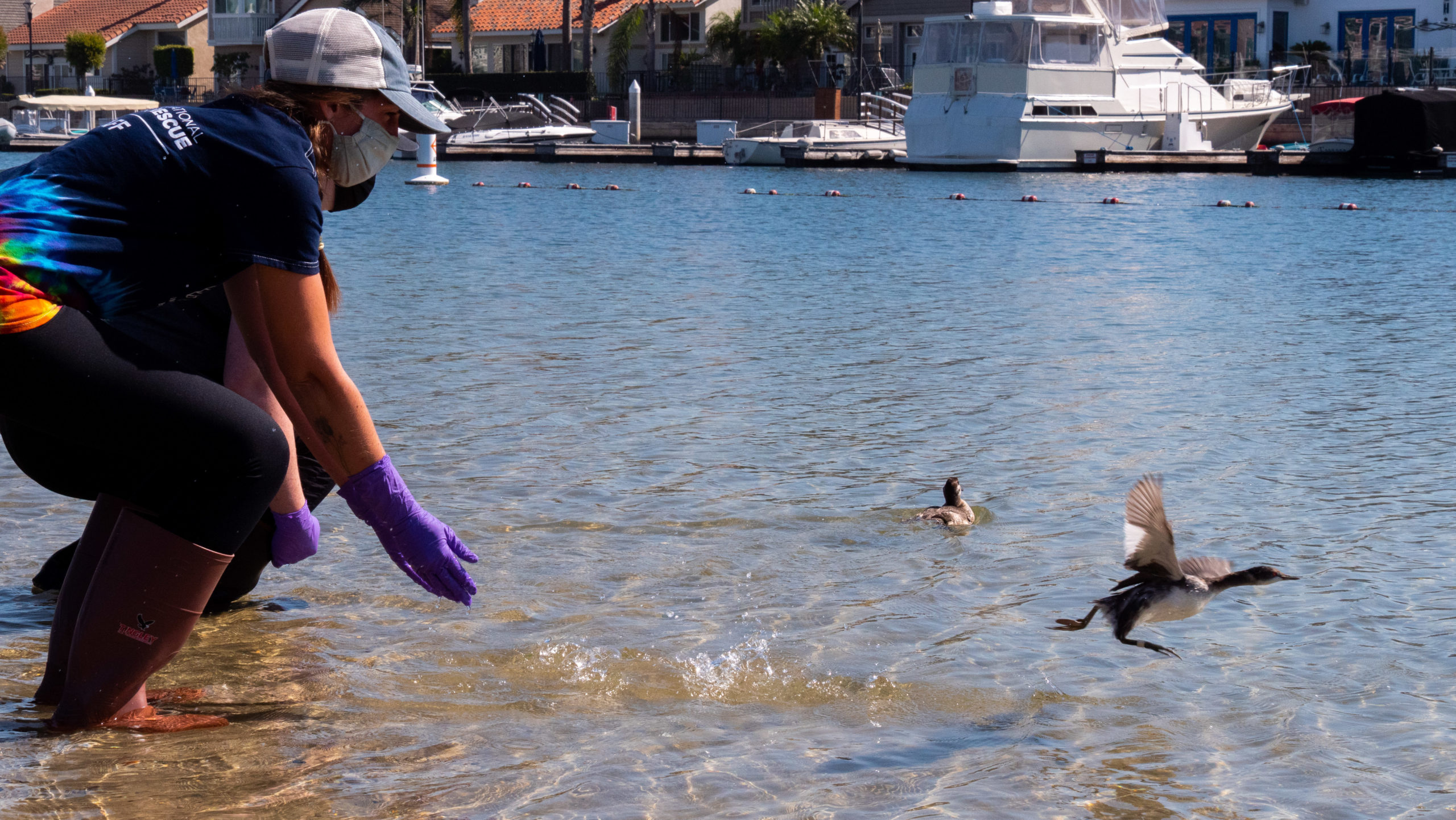 Two birds released in Huntington Beach after rehabilitation from Orange County Oil Spill